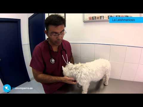 Leishmaniosis Canina