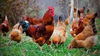 Птичья Ферма! Цыпленок Полезнее | домашние животные куры видео