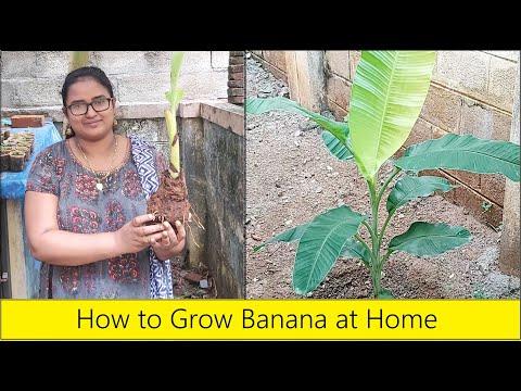 How to plant a Banana tree / Organic Banana farming / Home gardening in Tamil Nadu