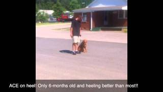6-months Golden Retriever On Heel! Best Dog Trainer, Virginia
