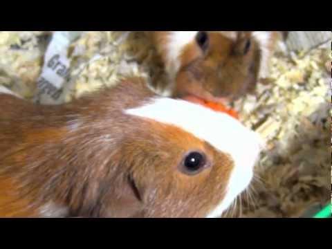 Guinea Pigs Eating Carrot, Running, Squealing, Squeaking Loud