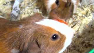 Guinea Pigs Eating Carrot, Running, Squealing, Squeaking Loud