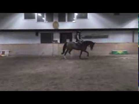 DA- Hunter 6yo gelding