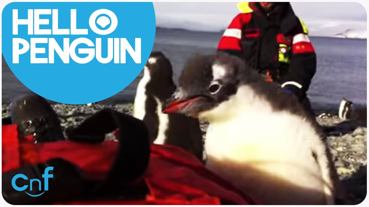 Baby Penguin Jumps On Human | Penguin Playtime