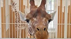 Neuer Giraffen-Bulle Obi ist da! I Tiergarten Schönbrunn