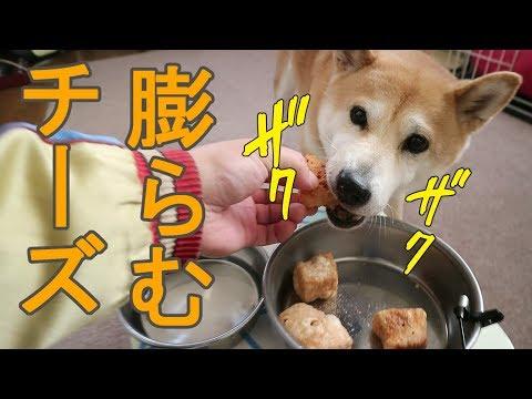 柴犬小春 尻尾が垂れるほど、膨らむチーズに夢中!【ASMR】Koharu Eats Cheese Snack!