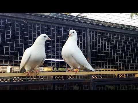 Indian kaldoomay pair 4 sale by pigeon gallery.