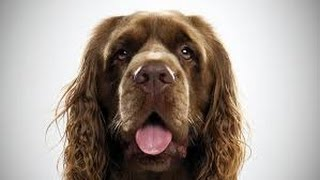 Sussex Spaniel / Razas de Perro  Dog Breed