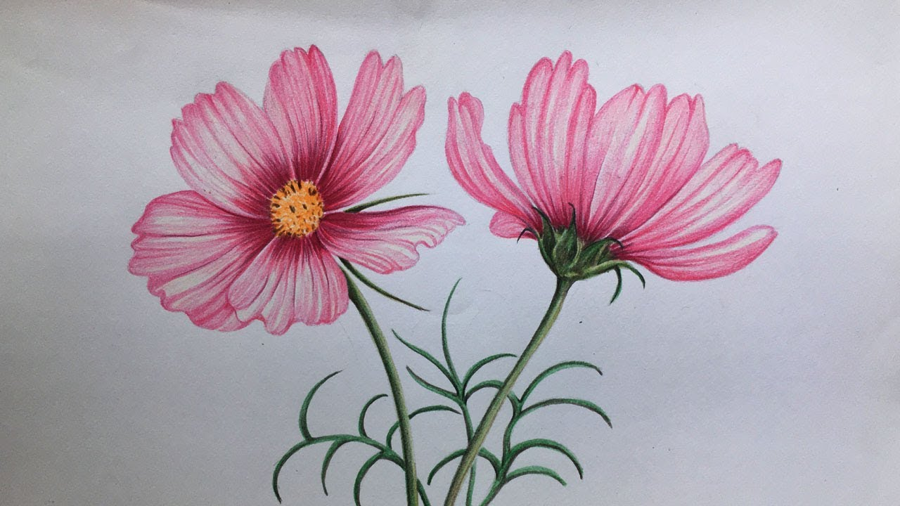 Cosmos Flowers Drawing in Color Pencils | How to Draw ...