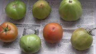 Дозревание томата