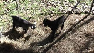 Baby goats play
