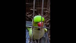 talking parrot -in -urdu..............