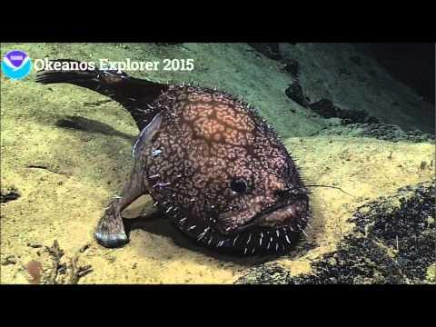 NOAA Ocean Explorer Okeanos Angler Fish Sladenia Shaefersi 4-29-2015