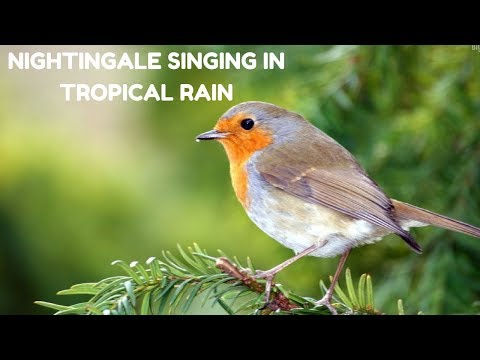 Best Nightingale song-Nightingale singing In Tropical Rain- Relaxing Nature Sound