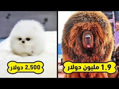 أغلى 10 سلالات كلاب في العالم.. لن تصدق كم يبلغ سعر أغلاهم !!