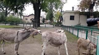 Osiołki z poznańskiego zoo