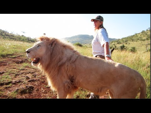 Walking With a FULL GROWN Lion