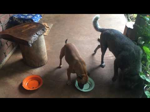 Funny dogs eating a meal, Atherton tableland, Queensland, Australia, May 2017