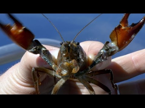 Invasive crayfish threaten species in Oregon's Crater Lake
