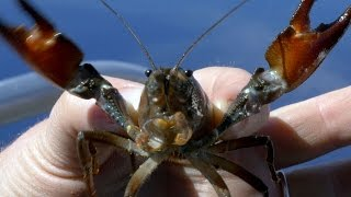 Invasive crayfish threaten species in Oregon
