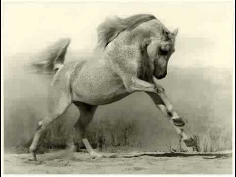 gus gus arabian horse
