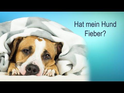 Wie erkenne ich ob mein Hund Fieber hat?