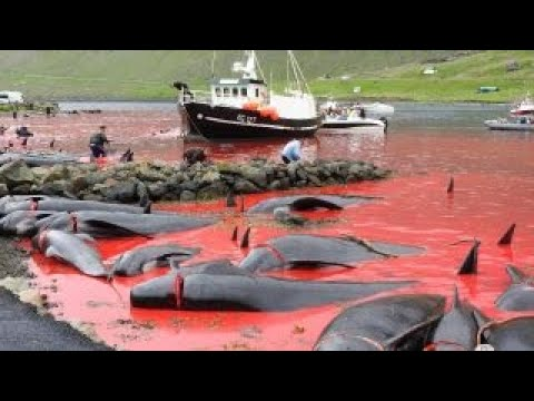 Gruesome whale hunts in Faroe Islands exposed by activists