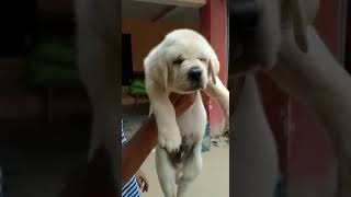 Labrador show quality puppy available in saharanpur u.p