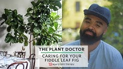 How To Care For Your Fiddle Leaf Fig | The Plant Doctor