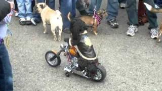 Dog Driving Motorcycle at Soulard Pet Parade - St. Louis