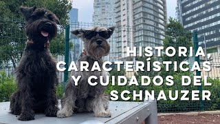Historia, características y cuidados del SCHNAUZER  Perrhijos