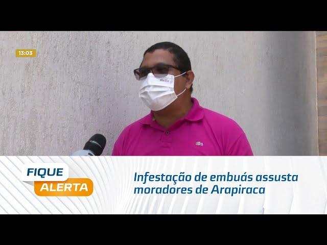 Infestação de embuás assusta moradores de Arapiraca
