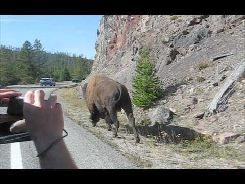 HUGE Bison walking down road in Yellowstone National Park