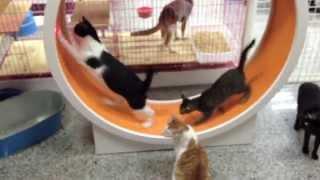 Cats running wheel