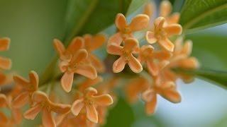 幸運度がアップします♪ 金木犀 (キンモクセイ)の花香る季節 香りはお...