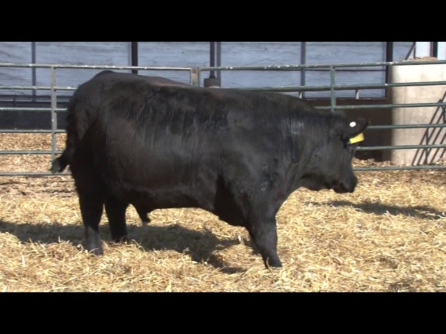 Schiefelbein Angus Farms Lot 239