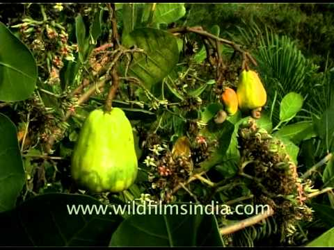 Cashew crops, nuts and plantations in South India