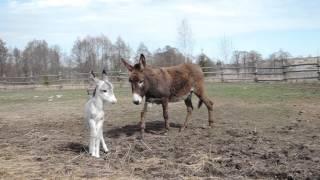 Маленький ослик с мамой на прогулке
