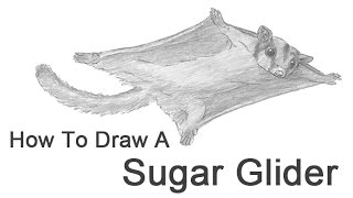 How to Draw a Sugar Glider