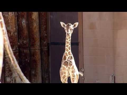 Thumbnail: Baby Giraffe Born at Albuquerque Zoo 2013