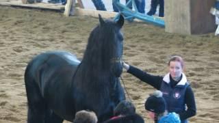 Выводка лошадей: фризская порода, Хасп