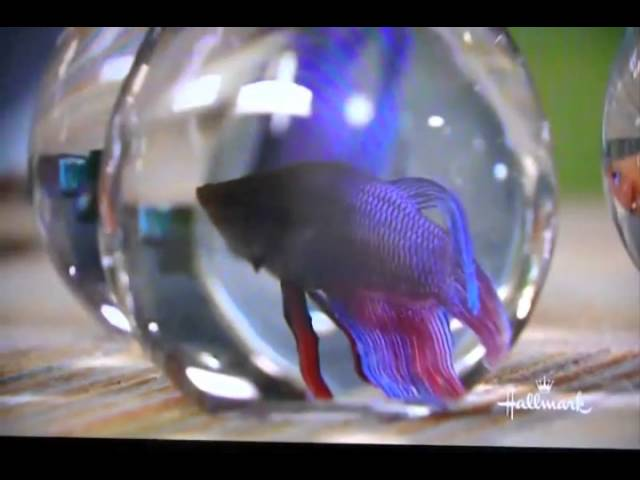 Petkeeping with Marc Morrone- Betta Fish Care