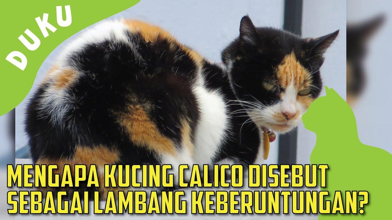 Dunia Kucing Eps 30 Mengapa Kucing Calico Disebut Sebagai Pembawa Keberuntungan Youtube