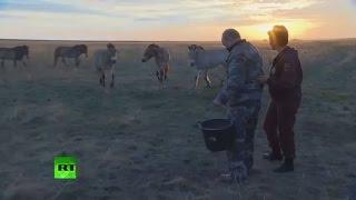 بوتين يطعم خيول بريجيفالسكي