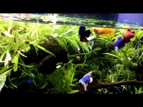 How to keep many Betta together even males !
