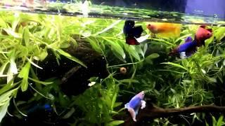 Zapętlaj HOW to keep MANY Betta TOGETHER even Males ! | Izabella AquaZone Aquarium Services
