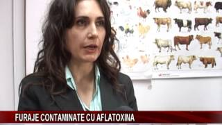 Furaje contaminate cu aflatoxina
