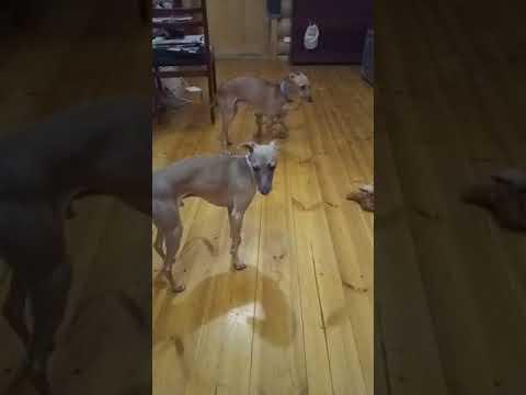 Купить щенка левретки (в Ижевске)