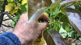 Northern California Avocado Pollination Report- May 25th, 2019