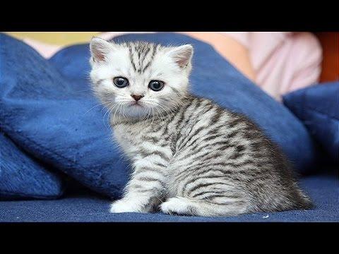 Роды кошки в домашних условиях - Блог о кошках британской